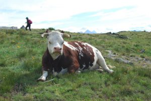 pictures of Cheneil wild cow
