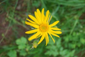 pictures of Cheneil wild flower and nature