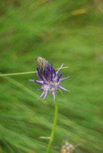 Pictures of Cheneil - Wild flower