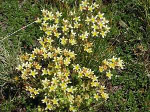 pictures of Cheneil wild flowers