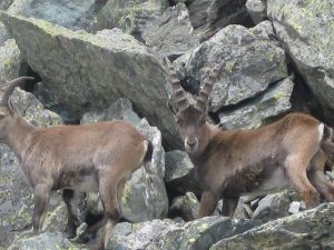 Pictures of Cheneil - Wild mountain goats